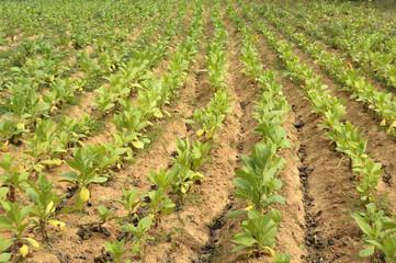 Tabakplantage, Nicotiana