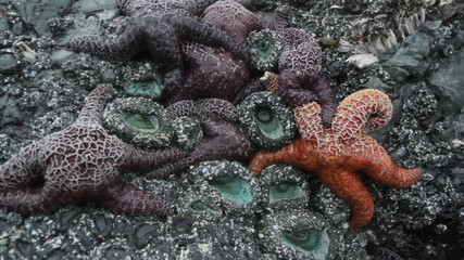 Starfishes and sea anenomes. Tofino, BC.