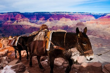 Mules Climbing up with Goods in Grand Canyon National Park in Ar