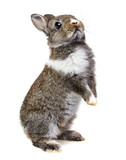 little baby rabbit - 51532205