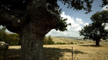 Tuscan countryside olive trees
