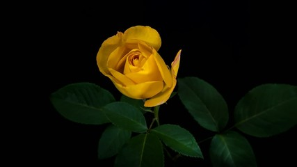 Yellow rose blooming timelapse