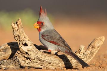 Male Pyrrhuloxia - Texas
