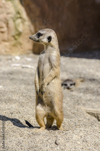 Side view of suricate on the lookout