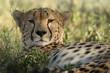 sguardo di ghepardo