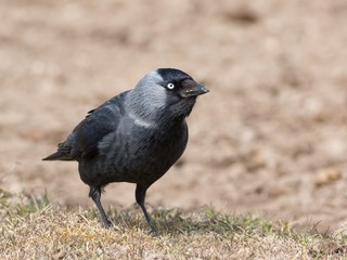 Western jackdaw crow family bird with brown dirt background