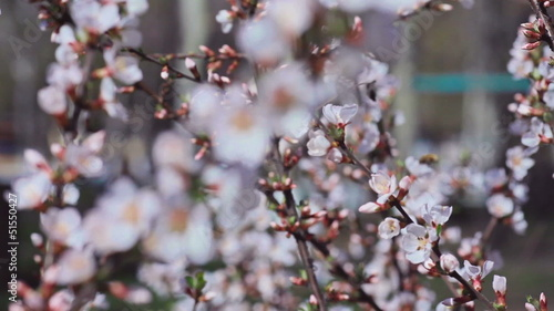 White blooming trees in spring