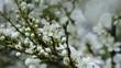 Weißdorn blühend