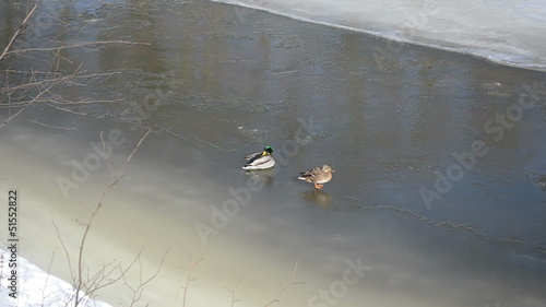 couple big duck (anas platyrhynchos) rest winter river ice
