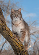 Bobcat (Lynx rufus) Stands on Branch