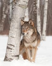 Grauer Wolf (Canis lupus) steht neben Birke