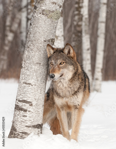 Grey Wolf (Canis lupus) Stands Next to Birch Tree - 51553429