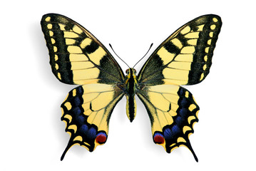 Specimen of Common Swallowtail (Papilio machaon)