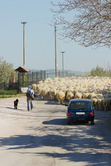 sheep and roads