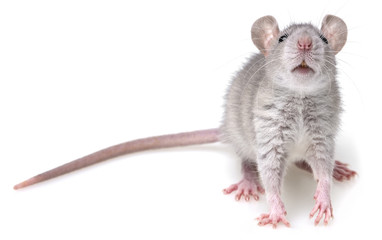 grey rat isolated on a white background