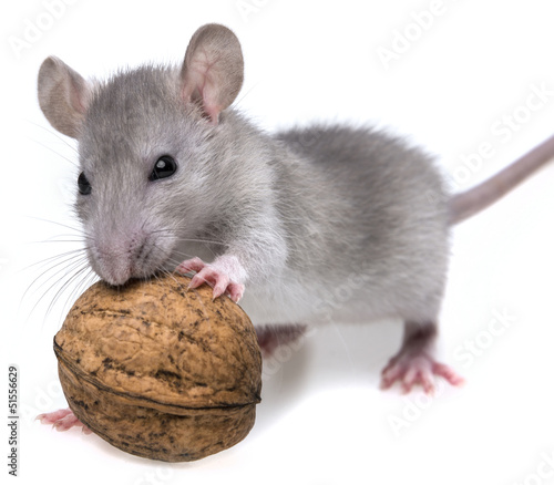 a rat eating a nut