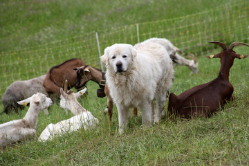 Sheepdog and herd of goats