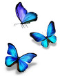 canvas print picture - Three blue butterflies, isolated on white