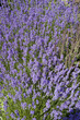 Lavender Flowers in garden
