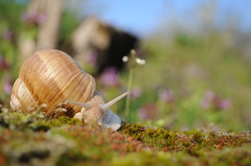 Snail riding on moss in garden in spring