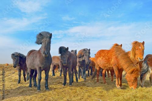 Islandzki koni