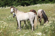Young welsh ponnies on pasturage
