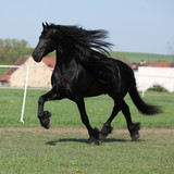Gorgeous friesian stallion running on pasturage