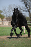 Gorgeous friesian stallion with long mane running on pasturage