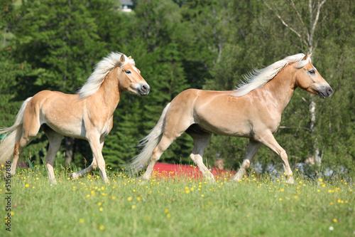 Dwa koni Haflinger działające na pastwisku