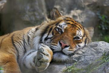 Tigre in relax