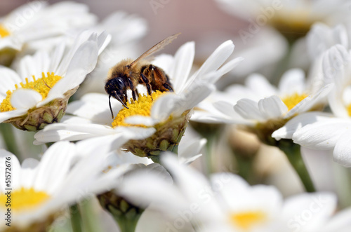 Honey bee feeding on anthemis flower