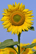 Closeup single sunflower (Helianthus annuus)