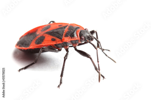 Firebug ( Pyrrhocoris apterus) isolated on white