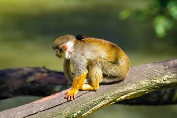 Squirrel monkey sitting on a tree branch