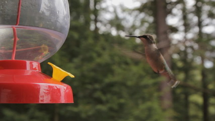 Hummingbird at a feeder. Turns and looks at camera!