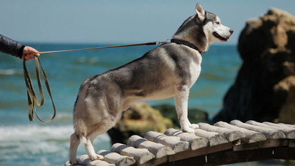 Husky dog breed standing on a bridge, then goes ahead