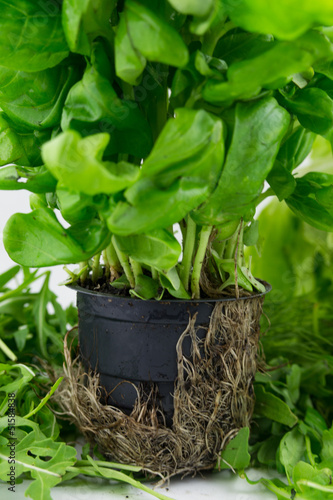 Spinach growing in a pot