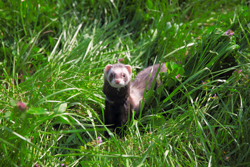 Sable ferret on the grass.