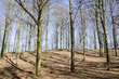 Beech forest in early spring