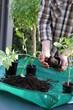 Umtopfen von Tomantenpflanzen
