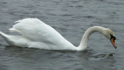 Swan fishing in a lake