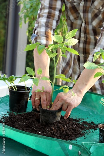 Gärtner pflanzt Tomatentrieb in Garten um