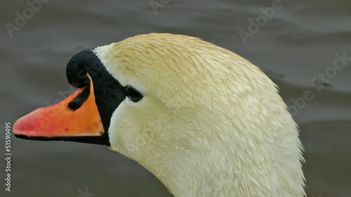 Swan - Close up of a swans head