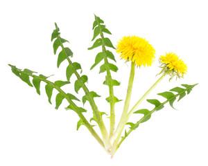 Löwenzahn (Taraxacum officinale) Blätter und Blüten für den