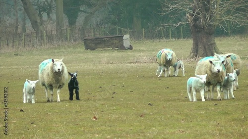 New Born Lambs in a Field