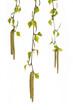 Birke (Betula pendula) Junge Triebe auf weißem Hintergrund