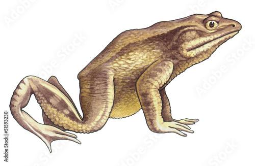Goliath frog - 51593230