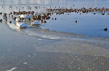 waterfowl on frozen lake