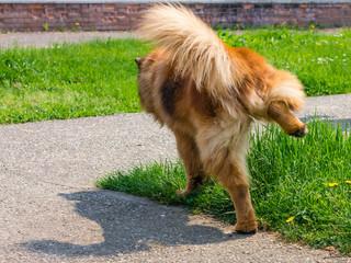 Cane che piscia su un prato verde