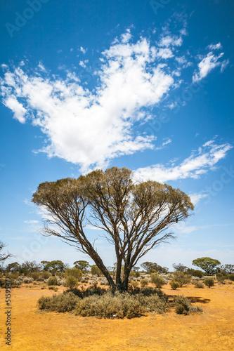 bush tree Australia